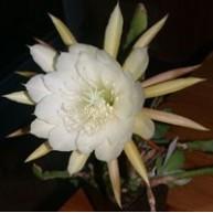 Epiphyllum crenatum  v. kimnachii f. Cooperi