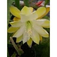 Epiphyllum Dolly Madison