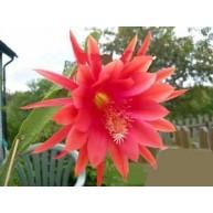 Epiphyllum Fantasie