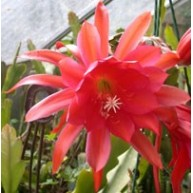 Epiphyllum Ivan The Terrible