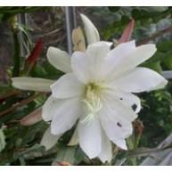 Epiphyllum Limehouse