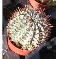 Euphorbia horrida 9cm pots