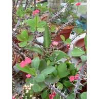 Euphorbia millii Crown of Thorns