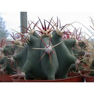 Ferocactus emoryi 10cm pots
