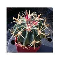 Ferocactus macrodiscus 10cm
