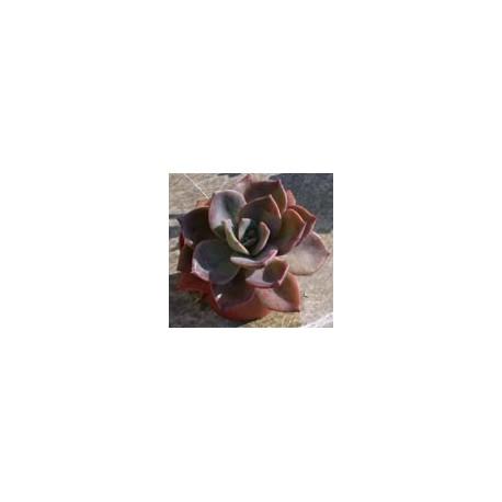Graptoveria X Albert Baines 9cm pot