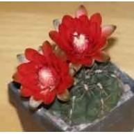 Gymnocalycium baldianum hybrid