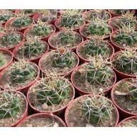 Gymnocalycium monvillei Ampul Arg. 1095m
