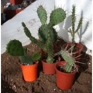 HARDY CACTUS COLLECTION