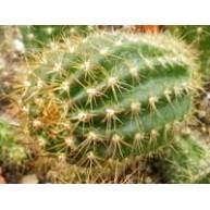 Lobivia maximiliana minutiflora L307