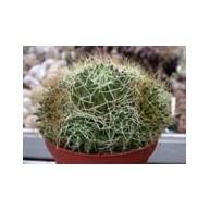 Mammillaria camptotricha 9cm pots
