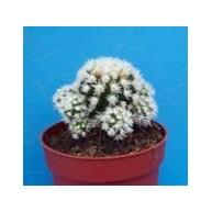 Mammillaria gracilis f. Arizona Snowcap