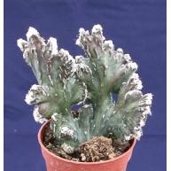 Monvillea spegazzinii f. cristata 7cm pots