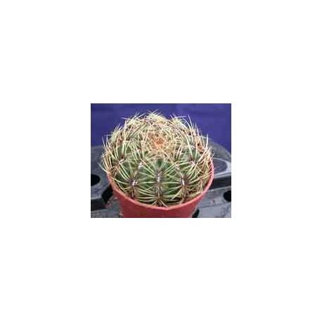 Oroya peruviana 9cm pot