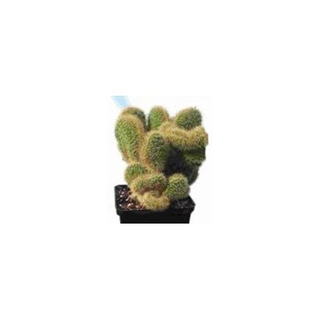 Winteria aureispina f. cristata 7cm pots