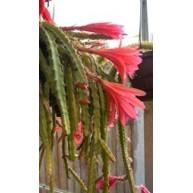 X Aporophyllum Marsha