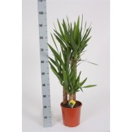 Yucca elephantipes 24cm pot