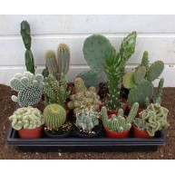 Wedding favours Cactus in 6.5cm pots