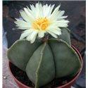 Astrophytum myriostigma f. nudum
