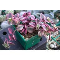 Crassula marginata variegata