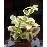 Crassula sarmentosa f.  Variegata