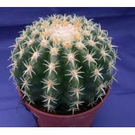 Echinocactus grusonii v. brevispina