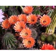 Echinopsis Gina