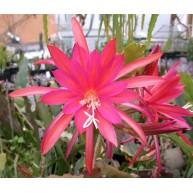 Epiphyllum Irette