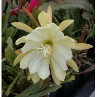 Epiphyllum oxypetalum v. Chichicastenango