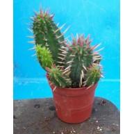 Euphorbia ferox 9cm pot