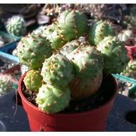 Euphorbia globularis 5cm pots