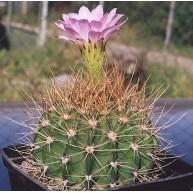 Acanthocalycium violaceum Las Palmas Arg.