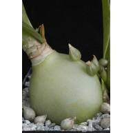 Ornithogalum longibracteatum 9cm