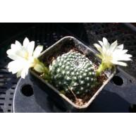 Rebutia krainziana f. albiflora