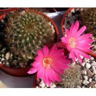 Rebutia violaciflora 7cm pots