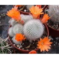 Rebutia Orange Ice