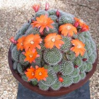 Rebutia Orange Clown