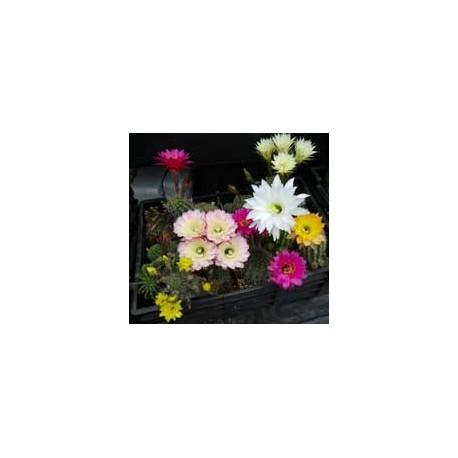 Echinopsis Cactus Shop Hybrid