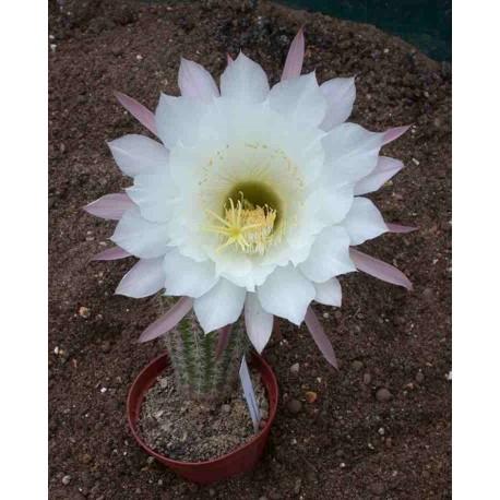 Echinopsis kermesina X purpureopilosus 9cm pots