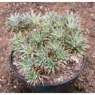 Abromeitiella brevifolia f. chlorantha