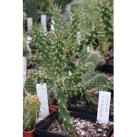 Austrocylindropuntia viridiflora SB957 Santa Fe Co. NM