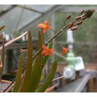 Bulbine frutescens Orange flowers