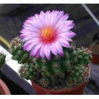 Thelocactus leucanthus 6cm pot