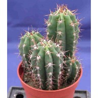Trichocereus pachanoi 2-4 plants in 5cm pot