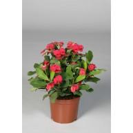 Euphorbia millii f. Vulcanus