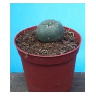 Lophophora williamsii 6cm pots