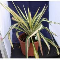 Yucca flaccida Gold Sword 17cm pots