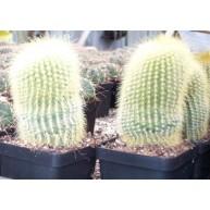 Notocactus leninghausii 9cm pots