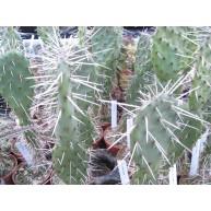 Opuntia ficus indica 6cm pot seedlings