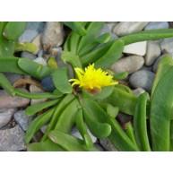 Glotiphyllum longum